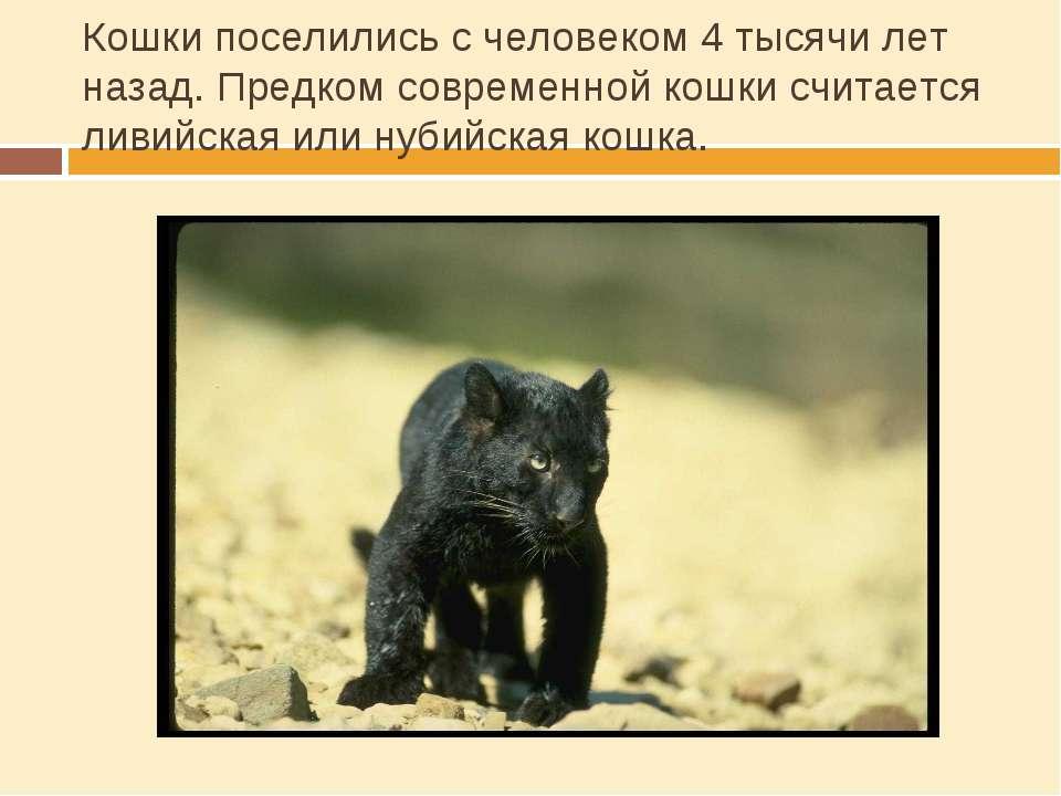 Кошки поселились с человеком 4 тысячи лет назад. Предком современной кошки сч...