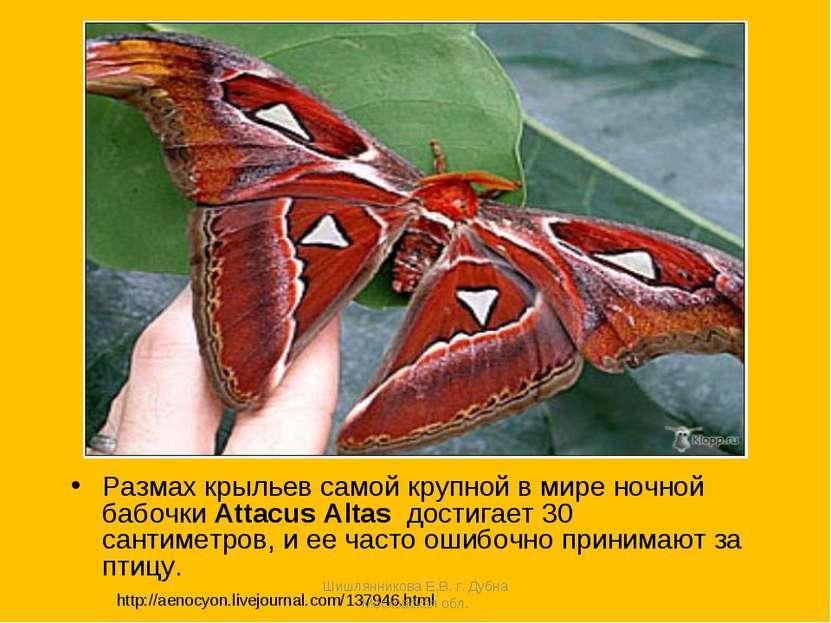 Размах крыльев самой крупной в мире ночной бабочки Attacus Altas достигает 30...