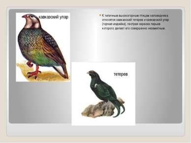 К типичным высокогорным птицам заповедника относятся кавказский тетерев и кав...