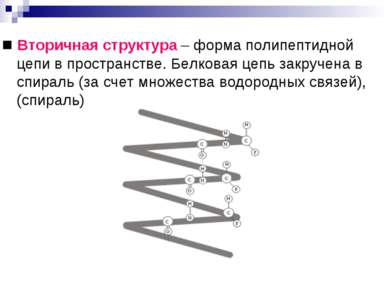 ■ Вторичная структура – форма полипептидной цепи в пространстве. Белковая цеп...