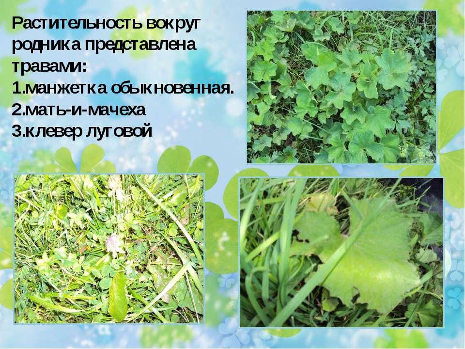 Растительность вокруг родника представлена травами: манжетка обыкновенная. ма...