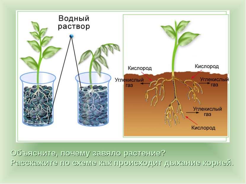 Объясните, почему завяло растение? Расскажите по схеме как происходит дыхание...