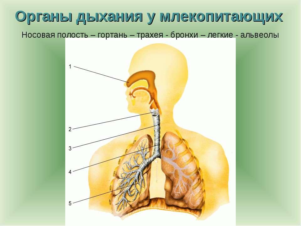 Органы дыхания у млекопитающих Носовая полость – гортань – трахея - бронхи – ...