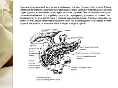 Строение поджелудочной железы очень необычное: она имеет головку, тело и хвос...
