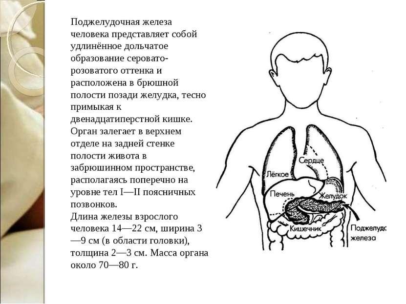 Поджелудочная железа человека представляет собой удлинённое дольчатое образов...