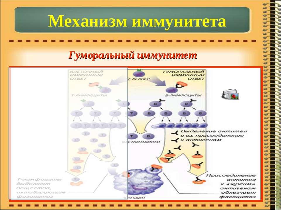 Механизм иммунитета Гуморальный иммунитет
