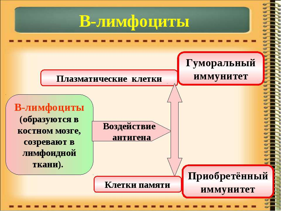 В-лимфоциты В-лимфоциты (образуются в костном мозге, созревают в лимфоидной т...