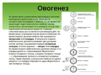 Во время фазы размножения диплоидные овогонии многократно делятся митозом. Фа...