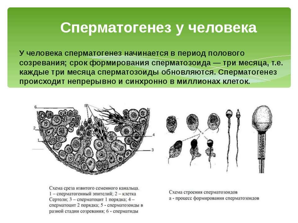 У человека сперматогенез начинается в период полового созревания; срок формир...