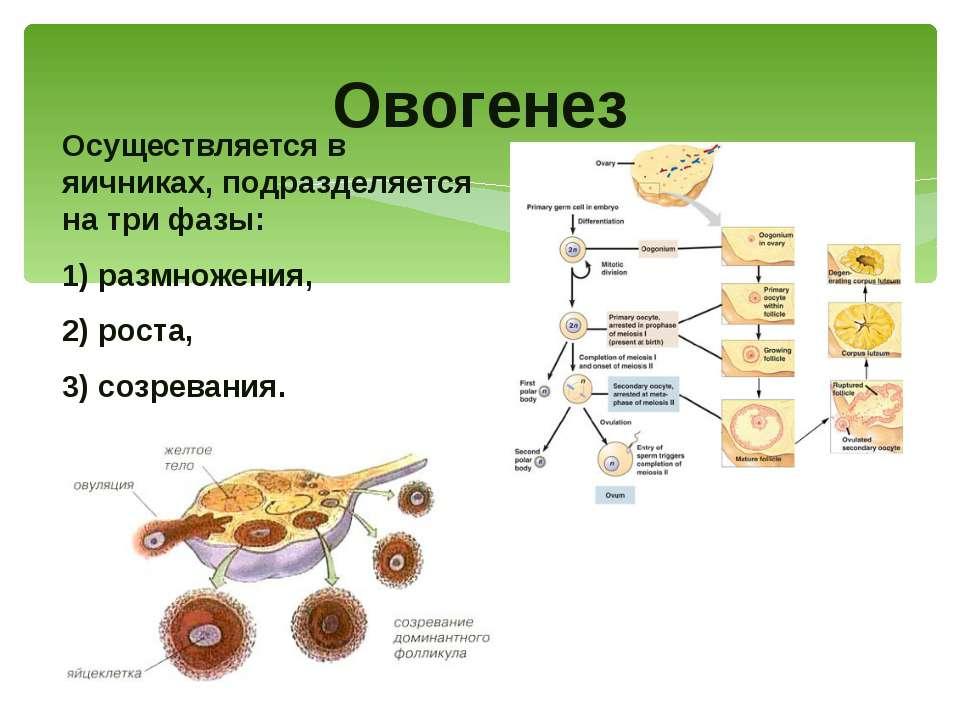 Осуществляется в яичниках, подразделяется на три фазы: 1) размножения, 2) рос...