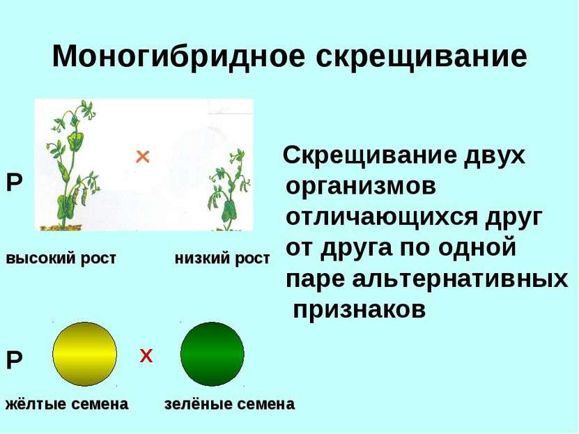 Моногибридное скрещивание Скрещивание двух организмов отличающихся друг от др...