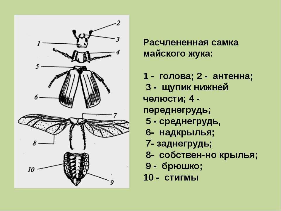 Расчлененная самка майского жука: 1 - голова; 2 - антенна; 3 - щупик нижней ч...