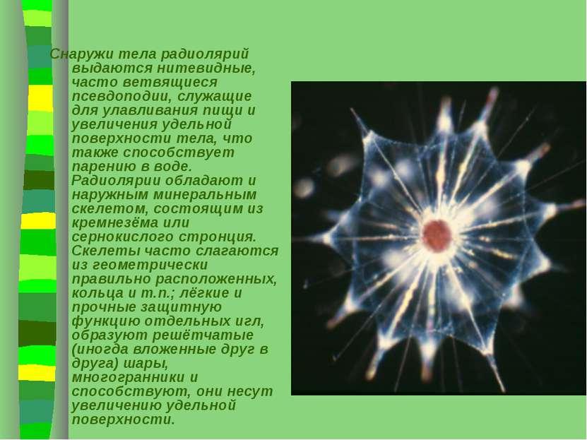Снаружи тела радиолярий выдаются нитевидные, часто ветвящиеся псевдоподии, сл...