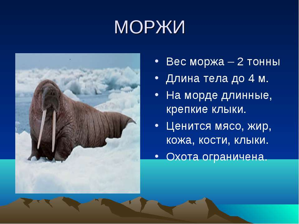 МОРЖИ Вес моржа – 2 тонны Длина тела до 4 м. На морде длинные, крепкие клыки....