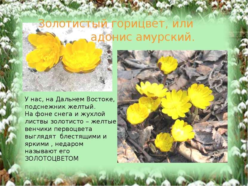 У нас, на Дальнем Востоке, подснежник желтый. На фоне снега и жухлой листвы з...