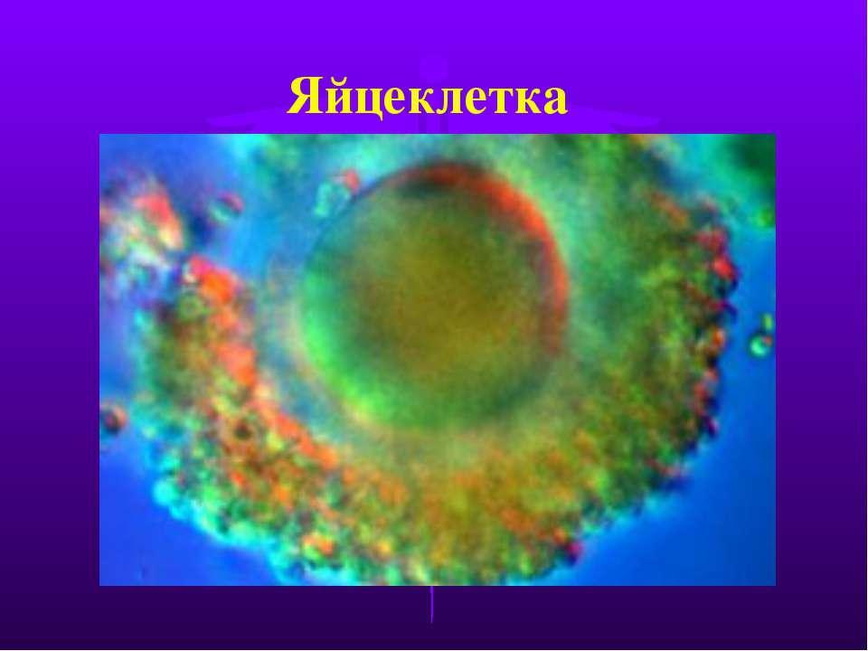 Яйцеклетка