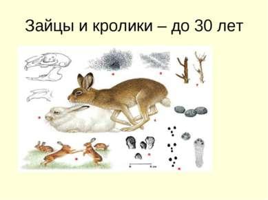 Зайцы и кролики – до 30 лет