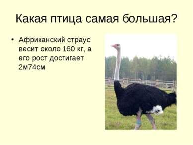 Какая птица самая большая? Африканский страус весит около 160 кг, а его рост ...