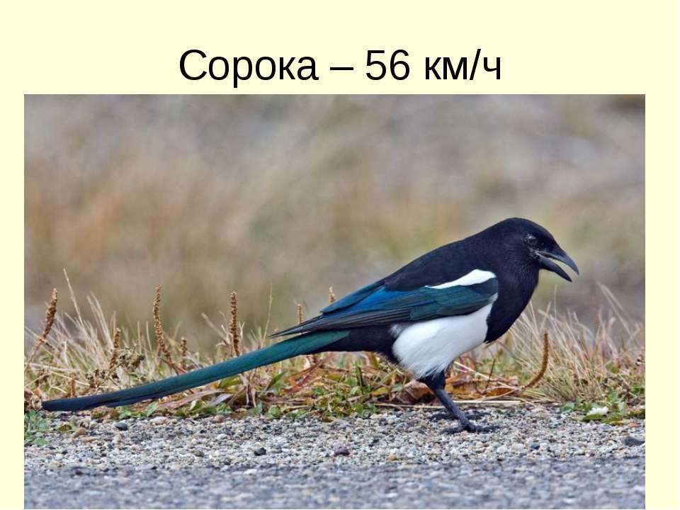 Сорока – 56 км/ч