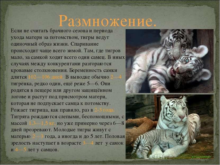 Если не считать брачного сезона и периода ухода матери за потомством, тигры в...