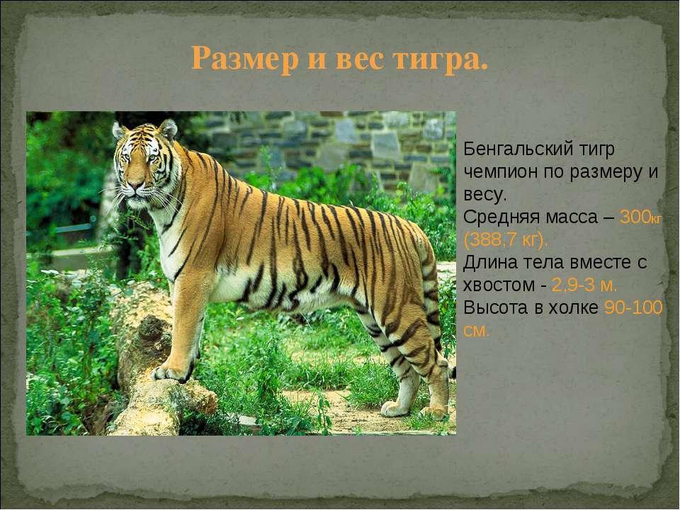 Размер и вес тигра. Бенгальский тигр чемпион по размеру и весу. Средняя масса...