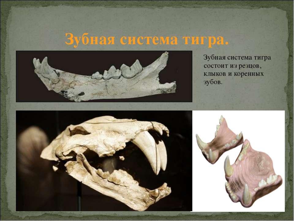 Зубная система тигра состоит из резцов, клыков и коренных зубов. Зубная систе...