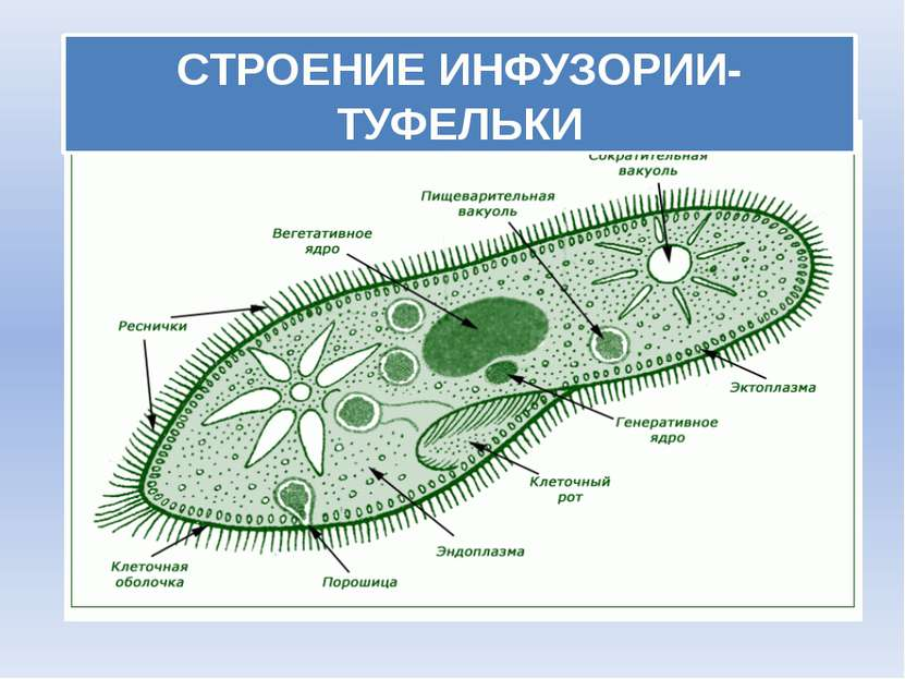 СТРОЕНИЕ ИНФУЗОРИИ-ТУФЕЛЬКИ