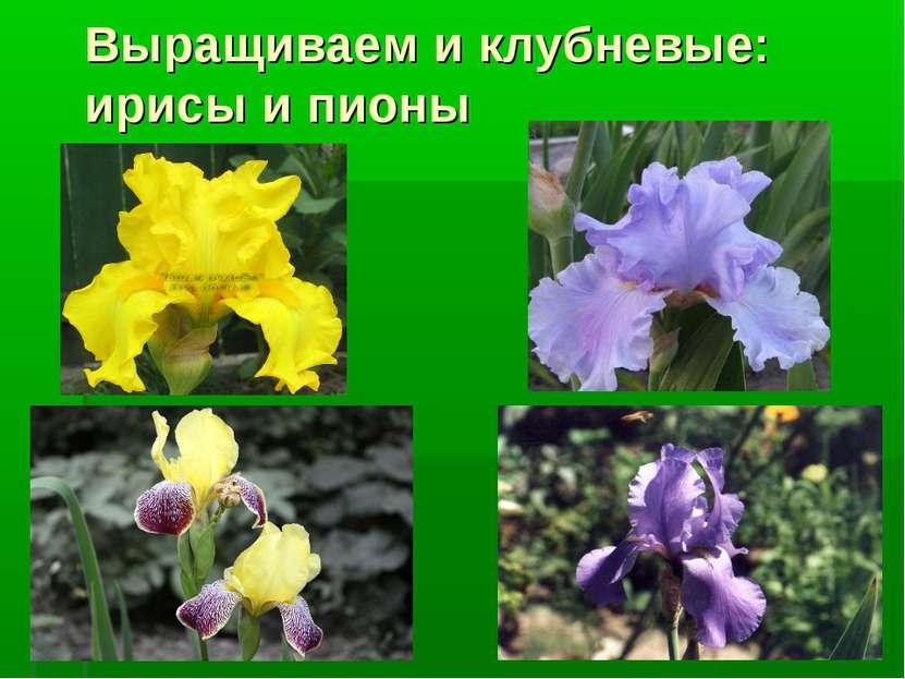 Выращиваем и клубневые: ирисы и пионы