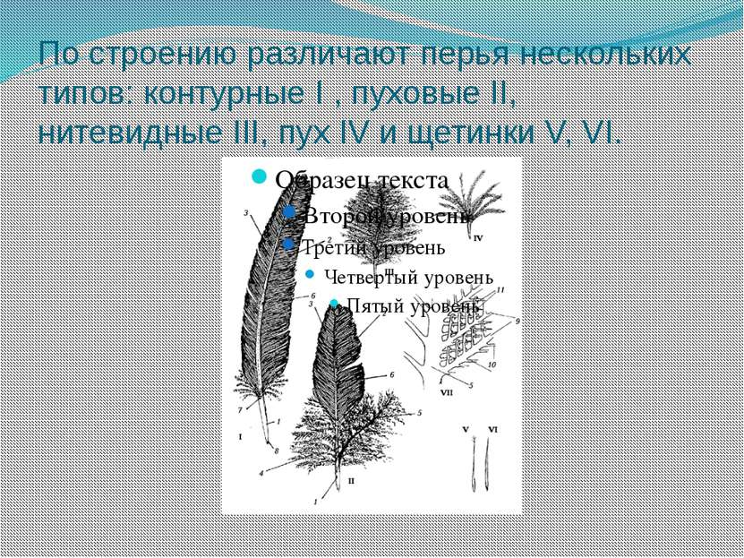 По строению различают перья нескольких типов: контурные I , пуховые II, нитев...