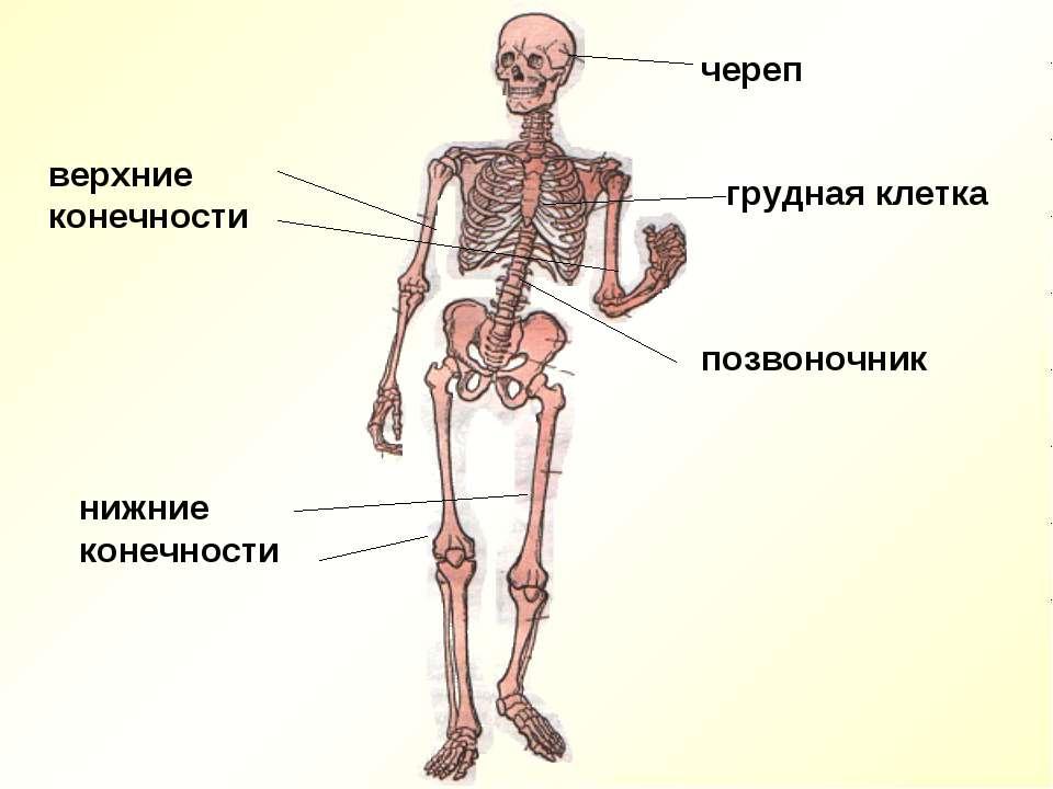 череп грудная клетка позвоночник верхние конечности нижние конечности