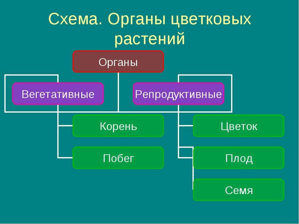 Схема. Органы цветковых растений