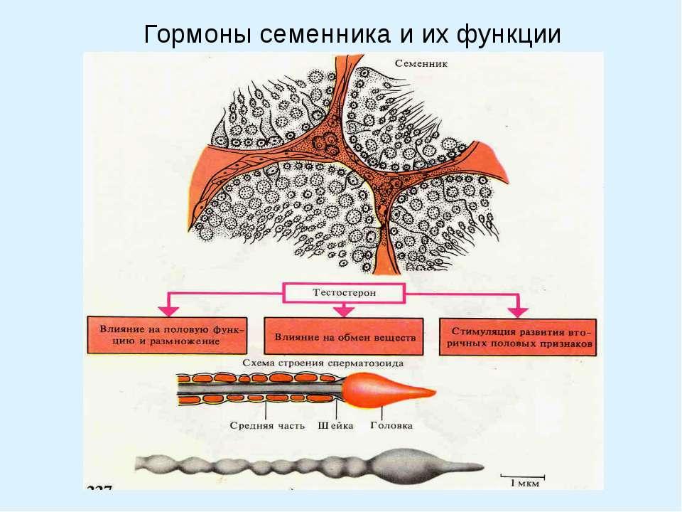 Гормоны семенника и их функции