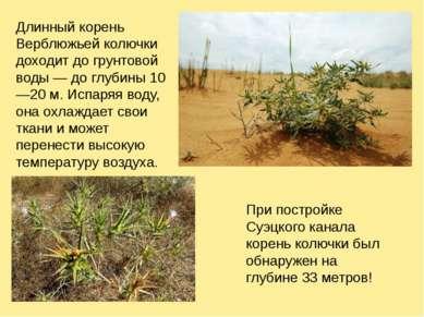 Длинный корень Верблюжьей колючки доходит до грунтовой воды — до глубины 10—2...