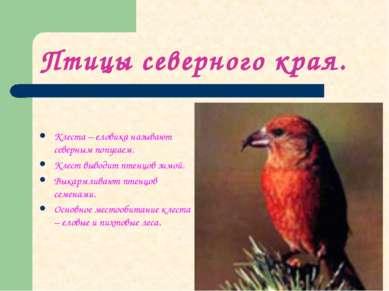 Птицы северного края. Клеста – еловика называют северным попугаем. Клест выво...