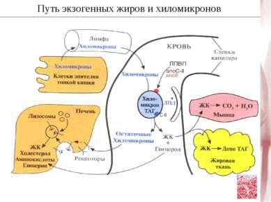 Путь экзогенных жиров и хиломикронов