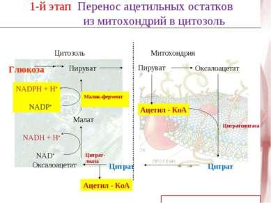 NADH + H+ NAD+ 1-й этап Перенос ацетильных остатков из митохондрий в цитозоль...