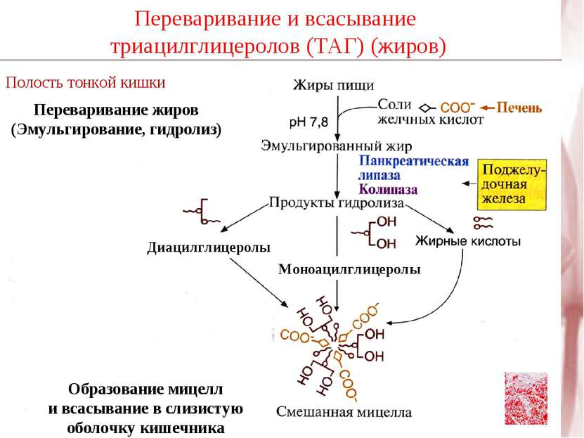 Переваривание и всасывание триацилглицеролов (ТАГ) (жиров) Полость тонкой киш...