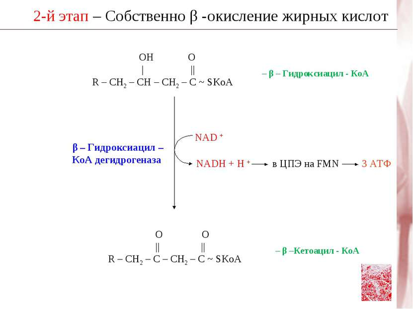 2-й этап – Собственно β -окисление жирных кислот β – Гидроксиацил – КоА дегид...