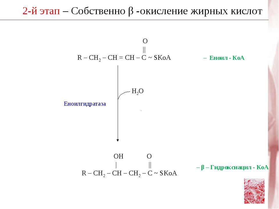 2-й этап – Собственно β -окисление жирных кислот Н2О ОН О | || R – CH2 – CH –...