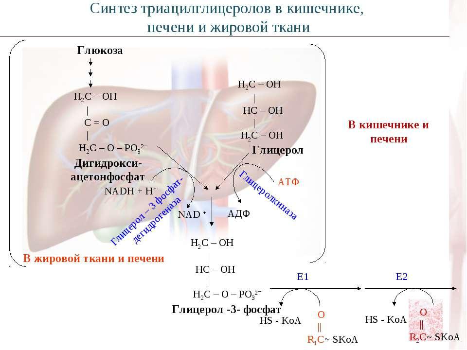 Глюкоза Н2С – ОН | С = О | Н2С – О – РО3²ˉ Дигидрокси- ацетонфосфат NADH + H+...