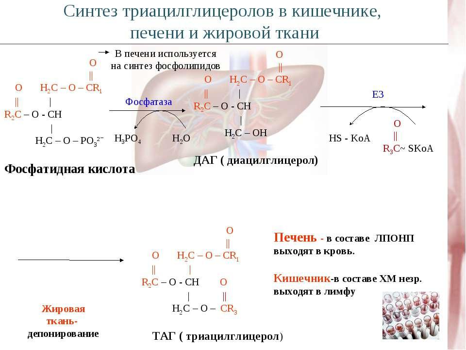 O || O H2C – O – CR1 || | R2C – O - CH | H2C – O – PO3²ˉ Фосфатидная кислота ...