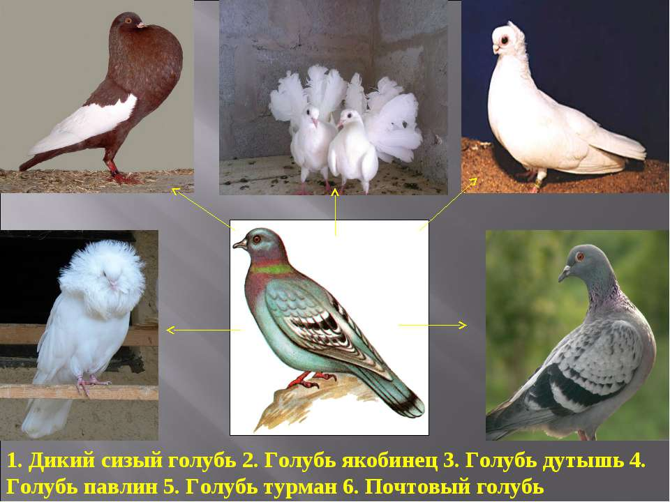 1. Дикий сизый голубь 2. Голубь якобинец 3. Голубь дутышь 4. Голубь павлин 5....