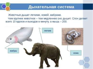 Животные дышат легкими, кожей, жабрами. Чем крупнее животное – тем медленнее ...