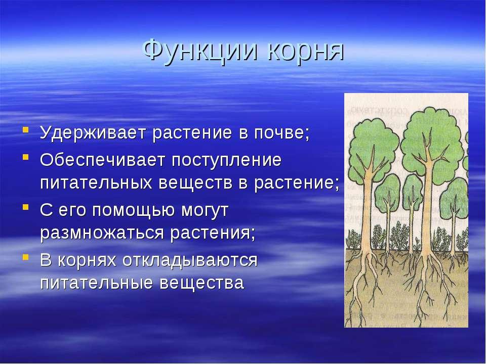 Функции корня Удерживает растение в почве; Обеспечивает поступление питательн...