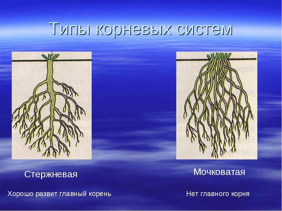 Типы корневых систем Стержневая Хорошо развит главный корень Мочковатая Нет г...