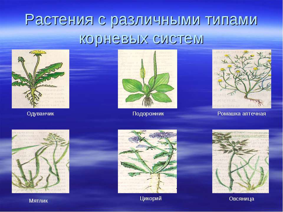 Растения с различными типами корневых систем Ромашка аптечная Подорожник Одув...