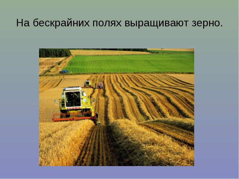 На бескрайних полях выращивают зерно.