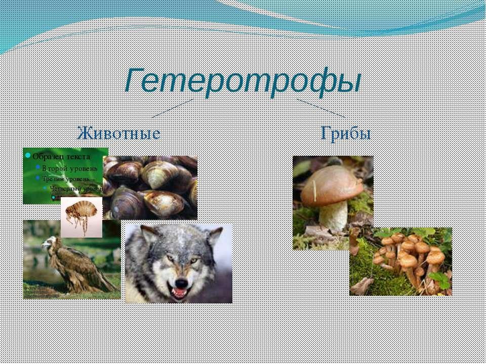 Гетеротрофы Животные Грибы