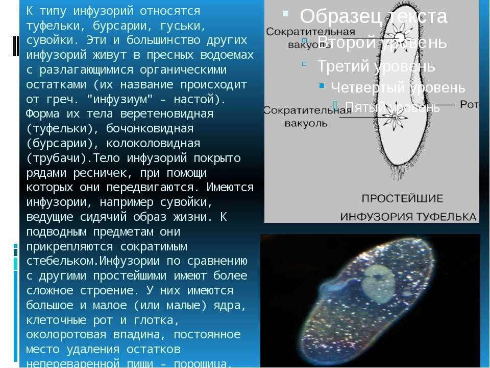 К типу инфузорий относятся туфельки, бурсарии, гуськи, сувойки. Эти и большин...