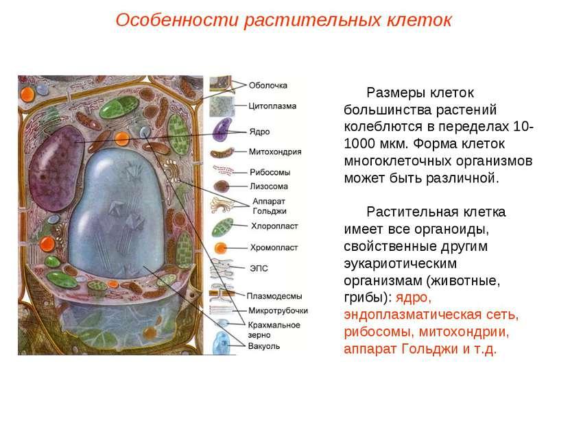 Размеры клеток большинства растений колеблются в переделах 10-1000 мкм. Форма...